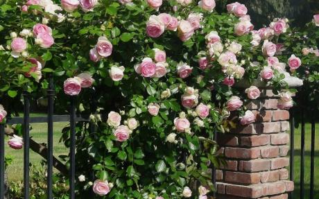 Rose-Bush-2